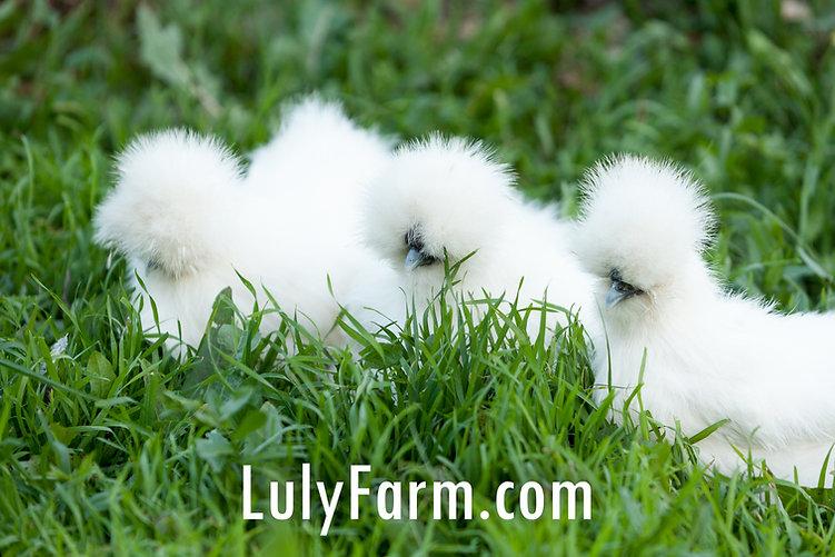 תרנגול משי , משי , silkie , silky