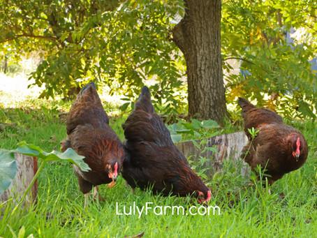 גידול תרנגולות - כמה פשוט וקל