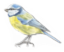 Blue tit with shadow.png