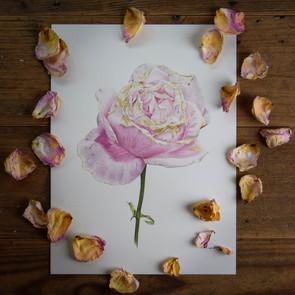Fading Rose Lifestyle.jpg