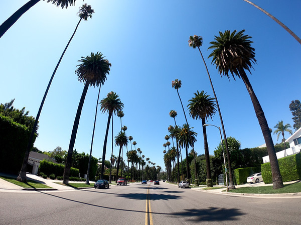 Huge palm trees of Beverly Hills.
