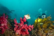 [2021년 3월] 제주도 섶섬 연산호군락 다이빙