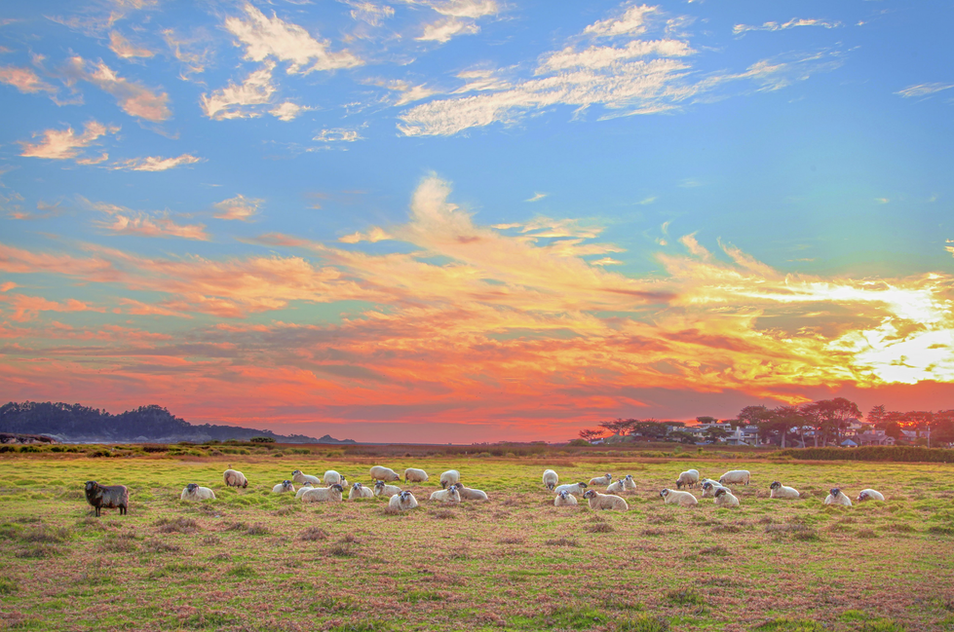 Mission ranch Sheep by Manny Espinoza Ph