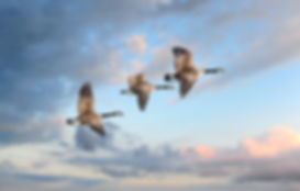 bigstock-Canade-Geese-Flying-into-a-sun-