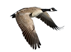 kisspng-bird-canada-goose-duck-chasse-oi