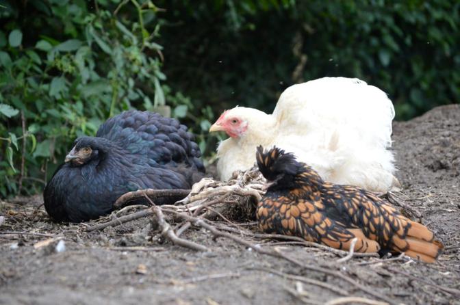 Kippen aan het relaxen