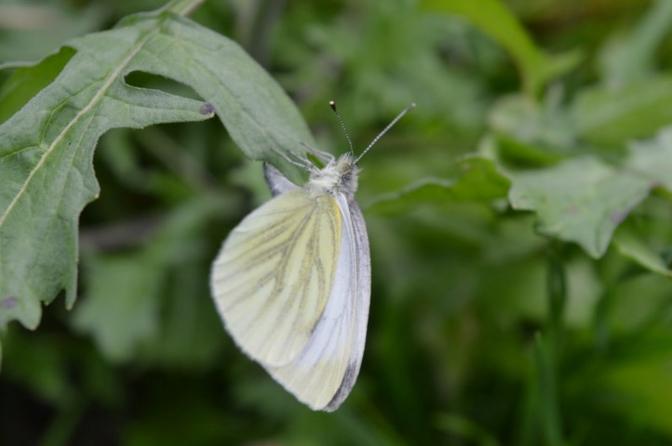 Kleine witte vlinder