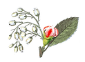 dibujo Ilustrado Rose Bud