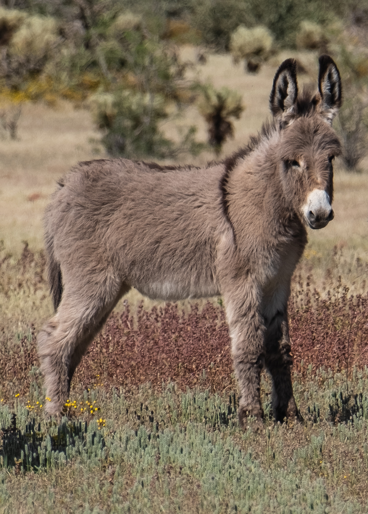 Arizona Wild Baby Burro, by Jim Green
