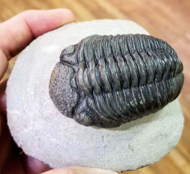 Happy Trilobite Tuesday!
