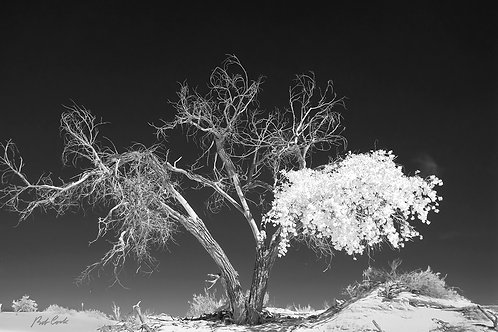 """""""White Sands Tree"""" 24in x 36in Giclee Print on Canvas"""