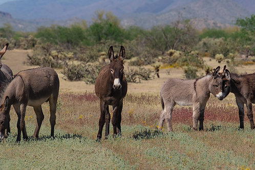 """Arizona Wild Burro Family"""