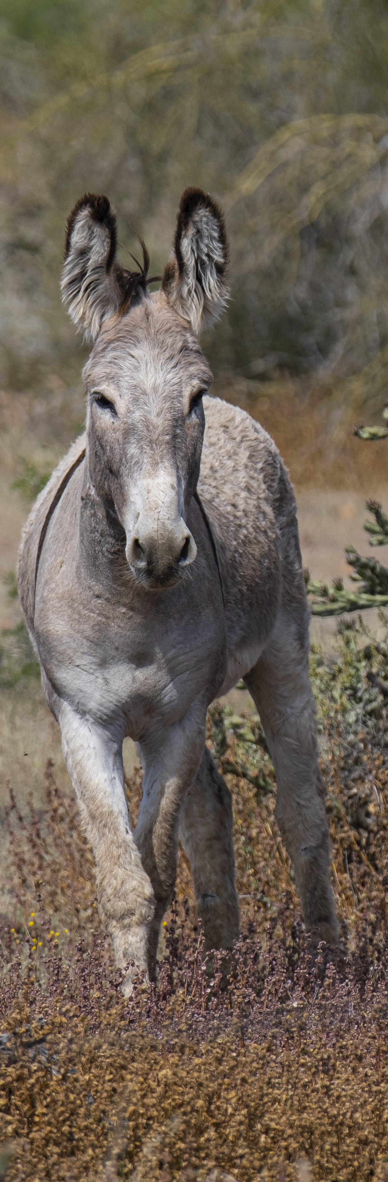 Arizona Adult Wild Burro, by Jim Green