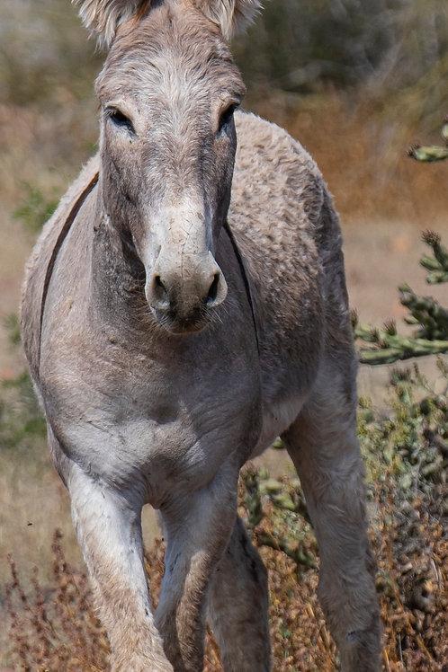 """""""Arizona Adult Wild Burro"""""""