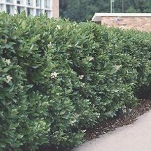 Wax Leaf Ligustrum