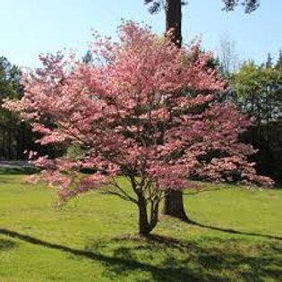 Dogwood-Pink