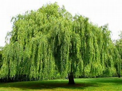 Weeping Willow (5'-6')