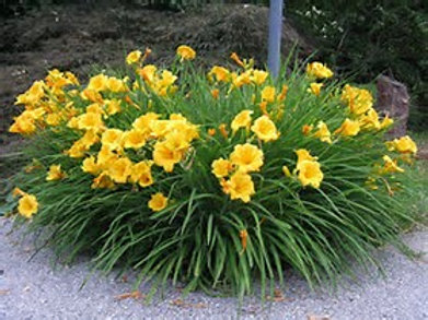 Stella D'oro Day lilly