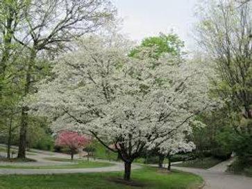 Dogwood-White