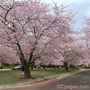 Yoshino Cherry Tree-Pink
