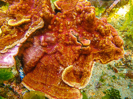 Montipora mother coral-2.jpg