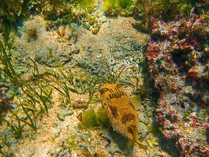 Pufferfish living around the farm reefs-
