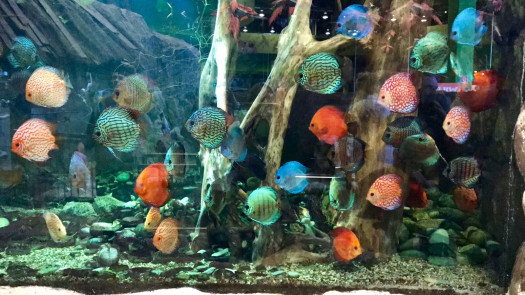 Large Discus display at a pet shop in Mannheim