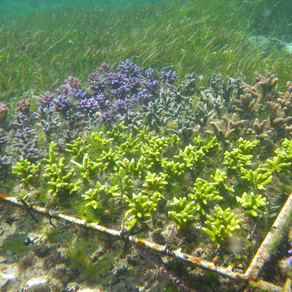 Captive bred fish and cultured corals – reducing our reliance on any one source