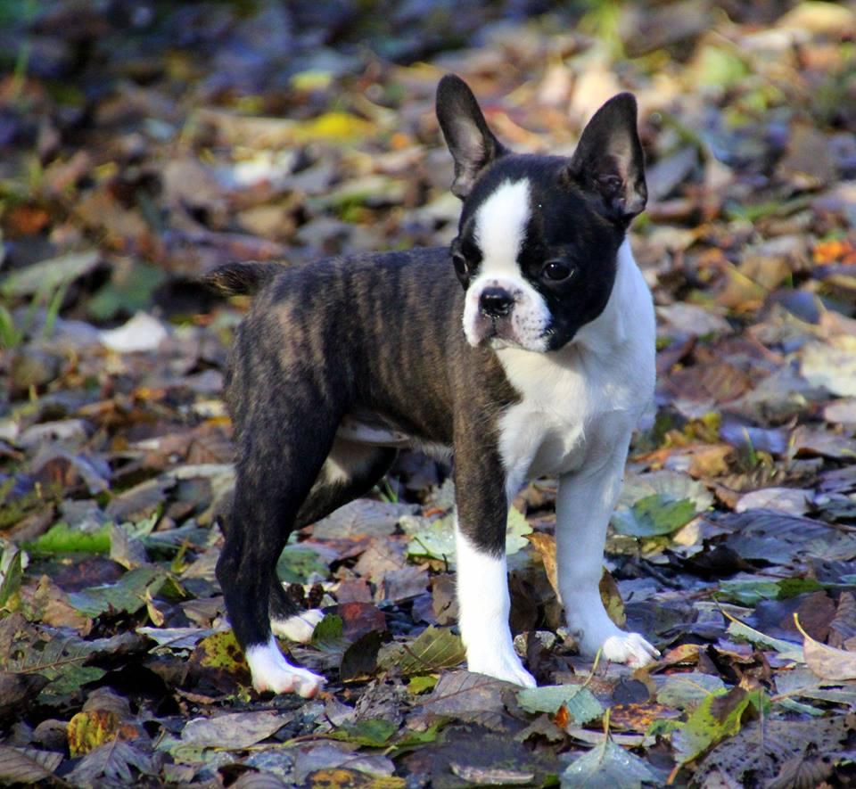 Boston Terrier Kennel Norway