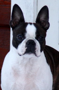Breeder of Boston Terrier in Norway