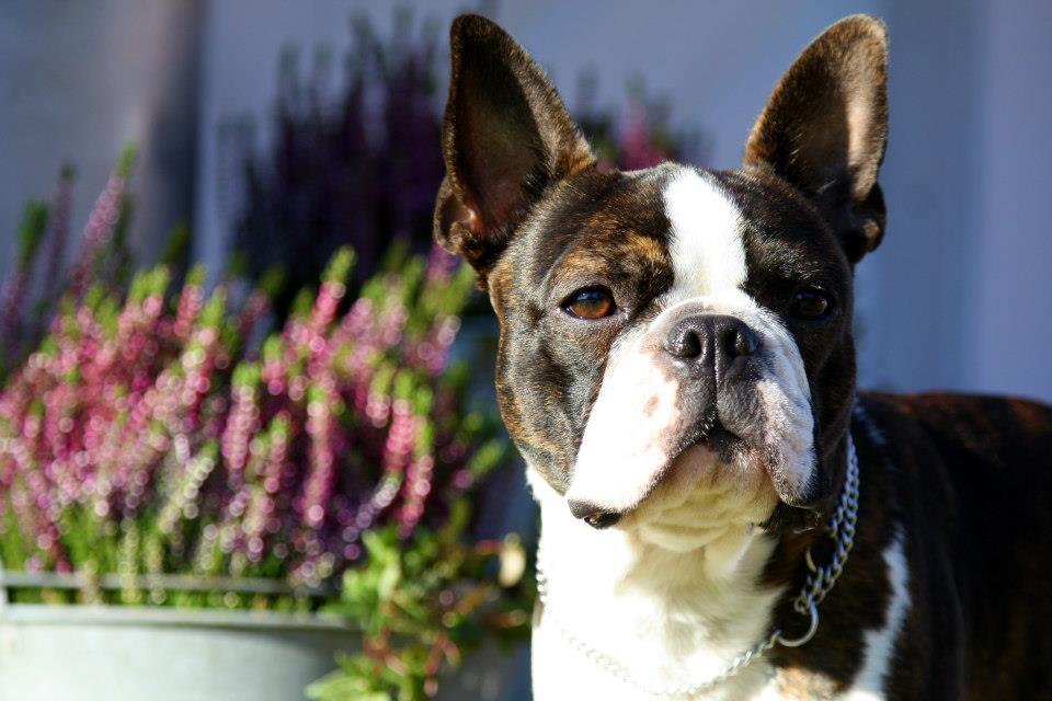 levanter dog portrait