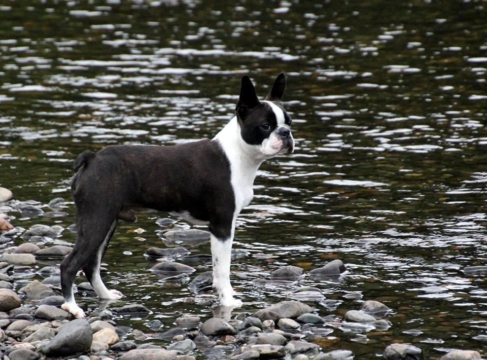 bosto terrier orway river