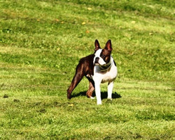 Boston Terrier on the grass