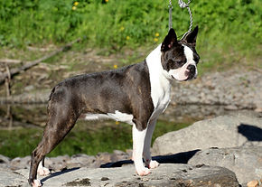 Hecuba boston terriers.jpg