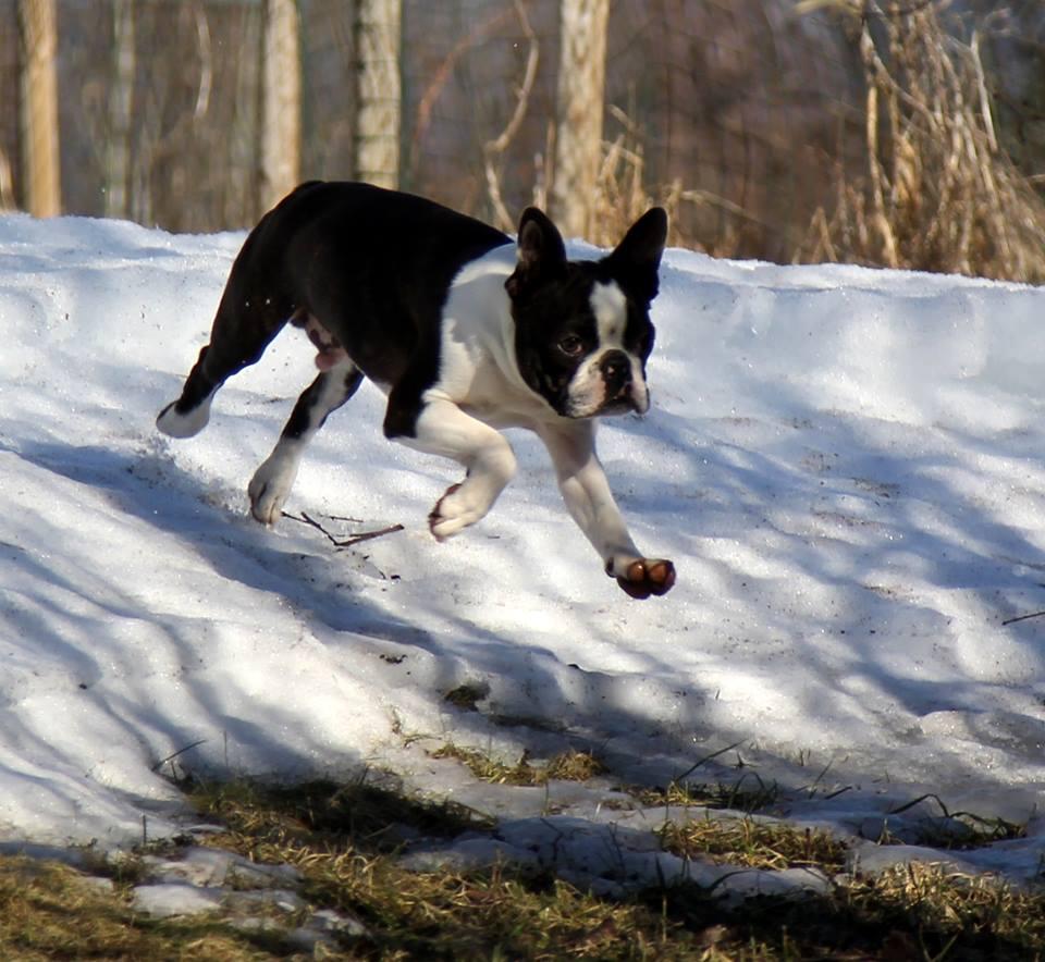 Hecuba & Skin-Deep's Boston Terrier