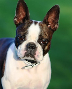 Boston Terrier Kennel in Norway