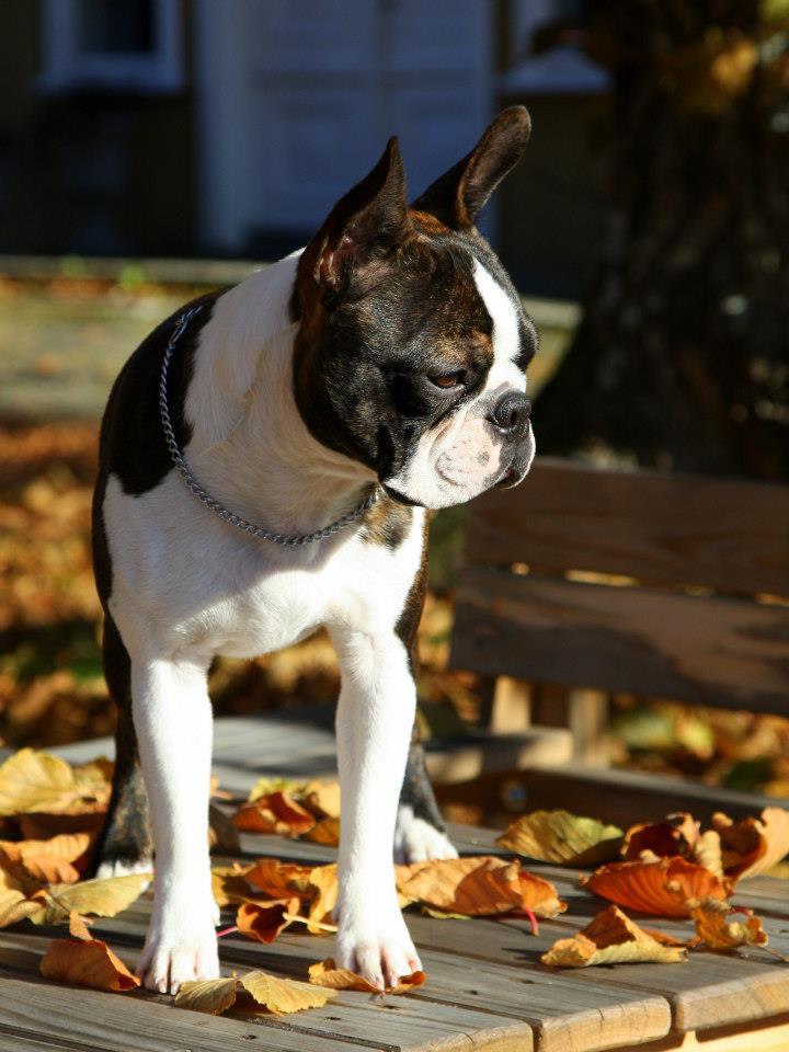 boston terrier in autum