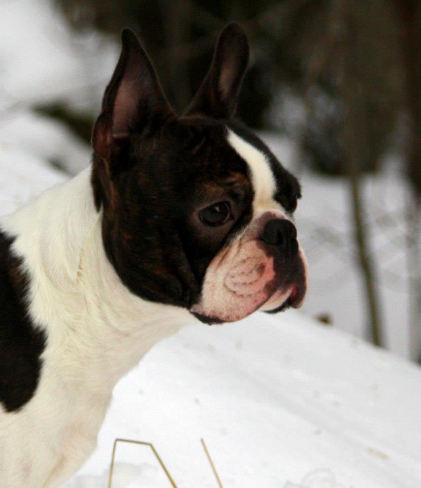 boston terrier in snow
