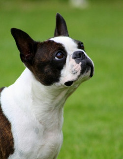 Boston Terrier Breeder in Norway