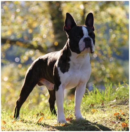 boston terrier in sprint