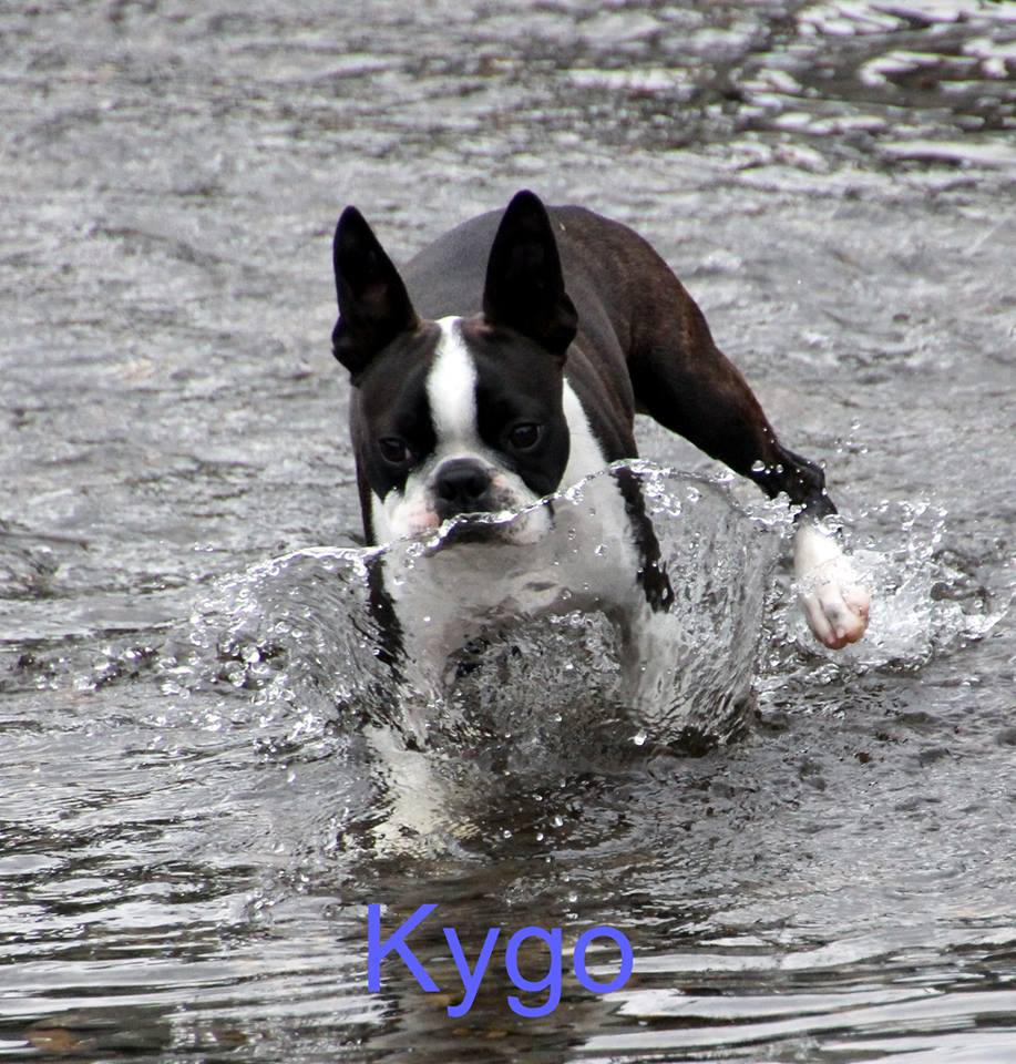 boston terrier in the water