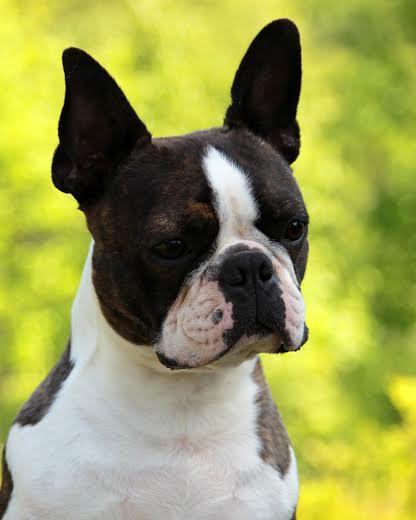 Jack Boston terrier