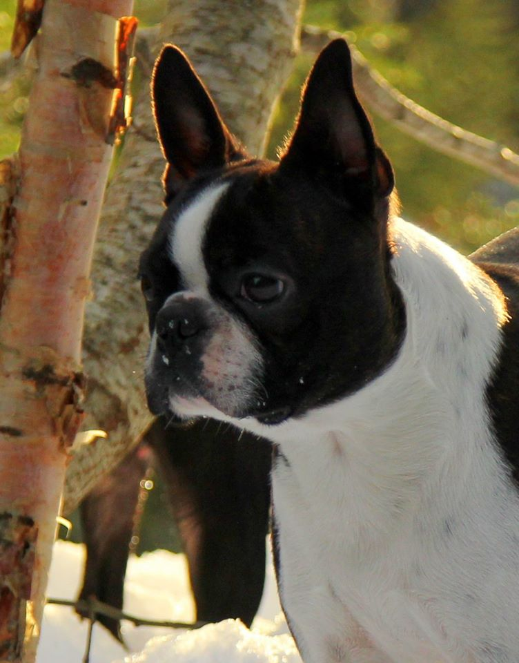 Skin-Deep's Boston Terrier Norway