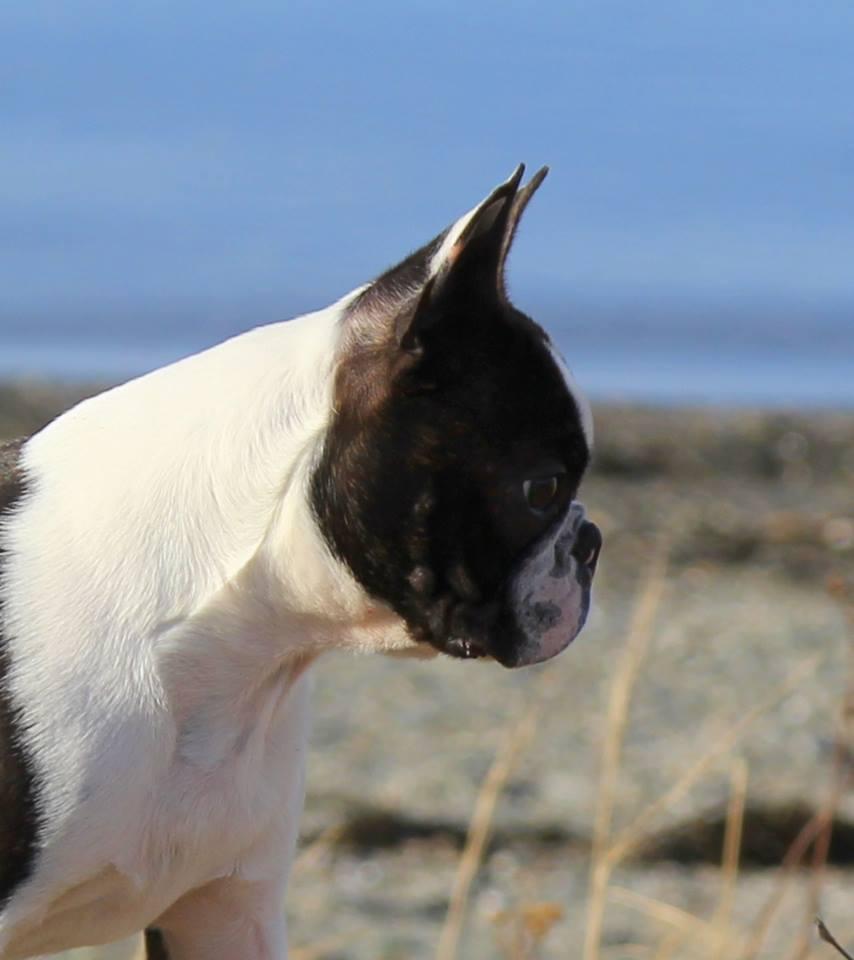 Boston Terrier profile picture