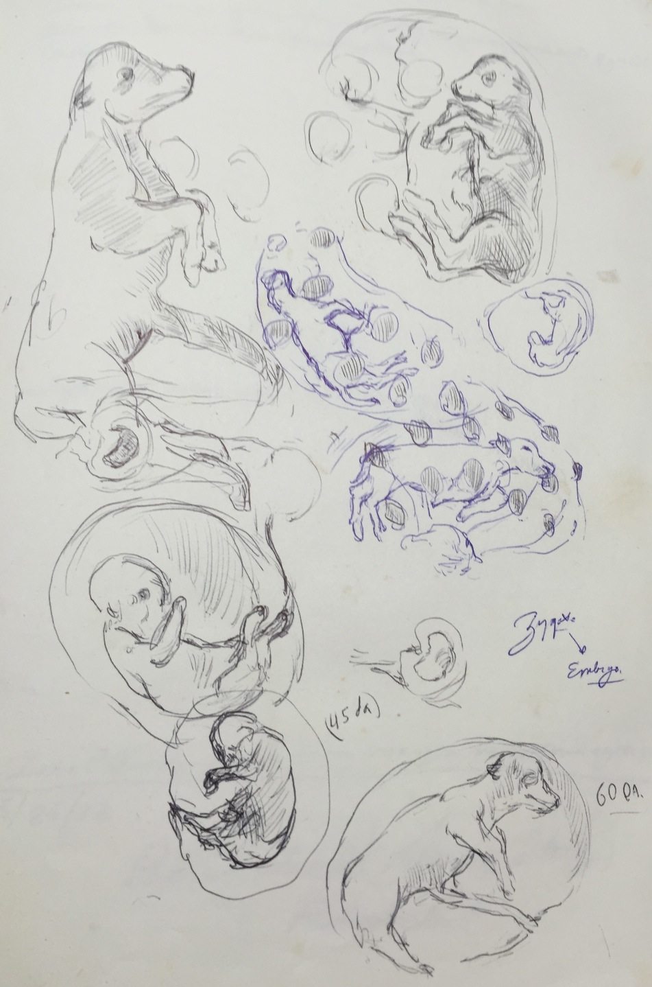 Bovine Embryology Studies