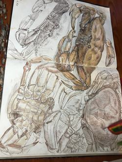 Studies of Dungeness Crab