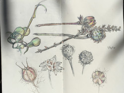 Seed Pods from Vancouver