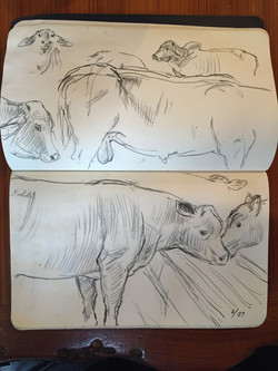 Bull Studies