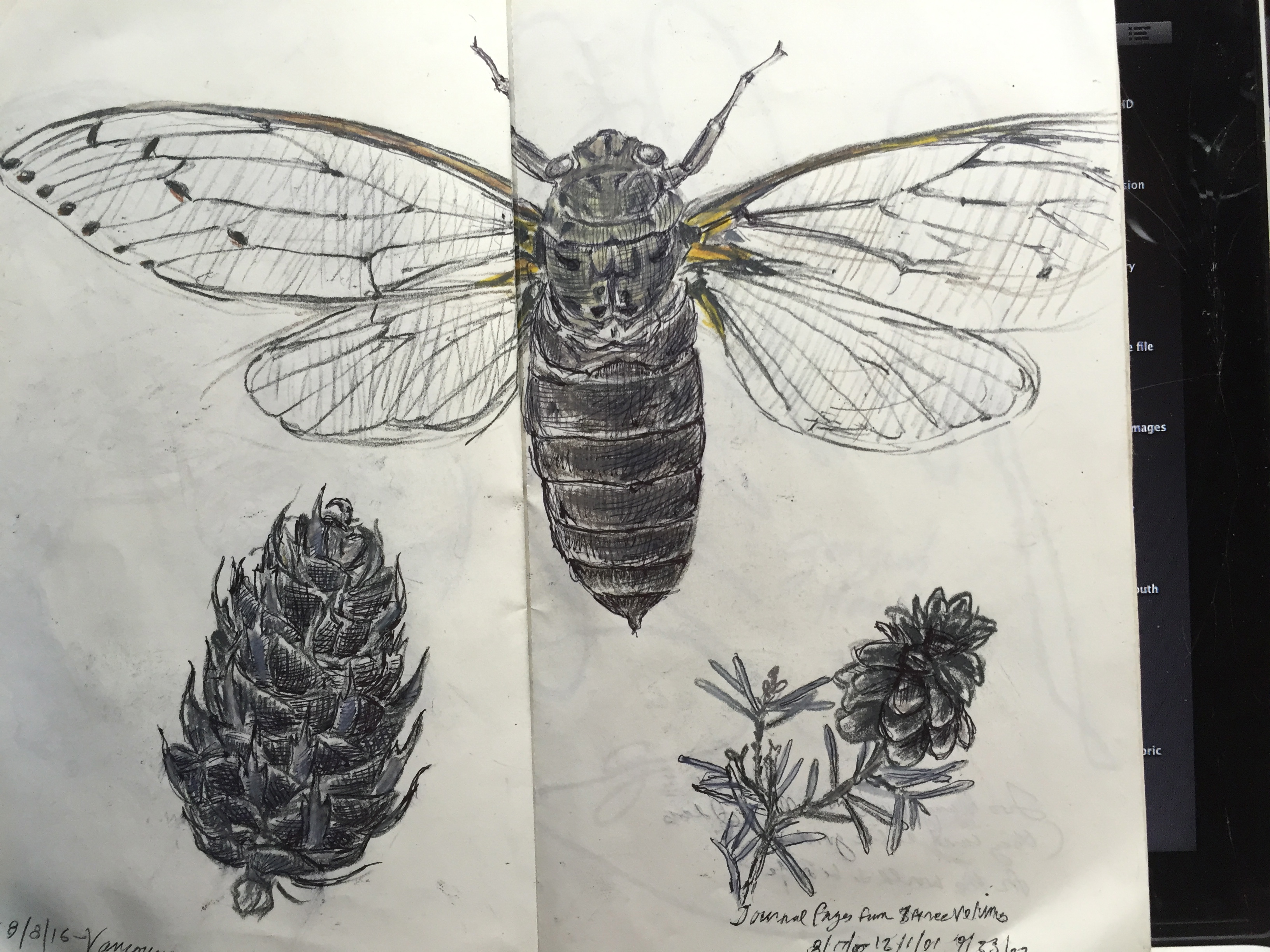 Studies of Cicada and cones