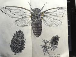 Studies of Cicada and cones